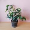 ficus benjamina green leaves weeping fig bush indoor plants houseplants interiorplants plant sale Mississauga Toronto Brampton Burlington Oakville Hamilton Ajax GTA