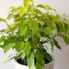 ficus benjamina limelight leaf color indoor plants houseplants interiorplants plant sale Etobicoke Toronto Mississauga Oakville Burlington Brampton Hamilton GTA