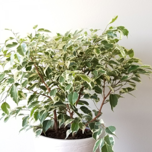 ficus benjamina variegated leaves green and white indoor plants houseplants interiorplants plant sale Etobicoke Toronto Mississauga Oakville Burlington Brampton Hamilton GTA