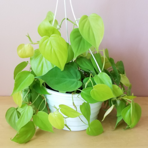 philodendron neon color indoor plants houseplants plant sale Mississauga Toronto Brampton Burlington Oakville Hamilton Ajax GTA