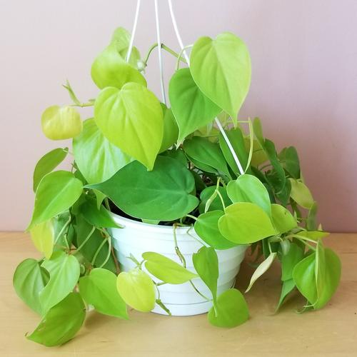 philodendron neon color indoor plants houseplants plant sale Mississauga Toronto Brampton Burlington Oakville Hamilton Ajax GTA
