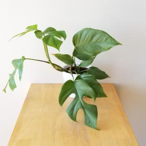 rhaphidophora tetrasperma philodendron indoor plants houseplants interiorplants plant sale Toronto Brampton Oakville Etobicoke Mississauga GTA