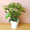 Jasmine Bermuda Beauty indoor plants houseplants flowering plants plant sale Toronto Mississauga Brampton Burlington Oakville Hamilton Pickering GTA