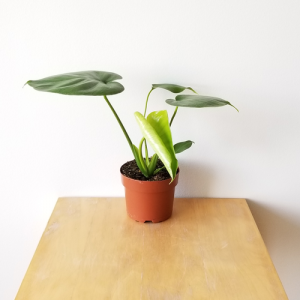 monstera deliciosa philodendron indoor plants houseplants interiorplants plant sale Toronto Etobicoke Mississauga Brampton Burlington Oakville GTA