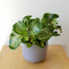 peperomia obtusifolia variegata gold indoor plants houseplants interiorplants plant sale Mississauga Toronto Oakville Brampton Burlington Hamilton Ajax GTA