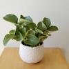 peperomia obtusifolia variegated leaves indoor plants houseplants interiorplants plant sale Toronto Mississauga Etobicoke Brampton Oakville Hamilton Burlington GTA