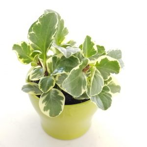 peperomia obtusifolia variegated indoor plants houseplants interior plants GTA Mississauga Toronto Etobicoke Brampton Oakville Burlington Milton