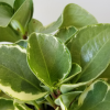Peperomia obtusifolia variegated leaves indoor plants houseplants office plant healthy living natural air-purifying plants plant sale online plant shop GTA Toronto Mississauga Etobicoke Brampton Burlington Oakville plant gifts