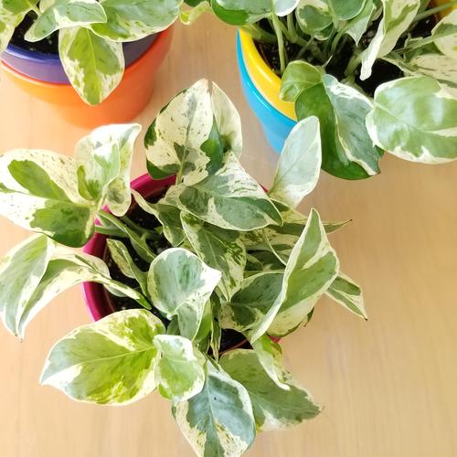 pothos pearls and jade (epipremnum aureum) indoor plants interiorplants office plants houseplants easy to grow plant sale Mississauga Toronto Oakville Brampton Burlington Hamilton Richmond Hill GTA
