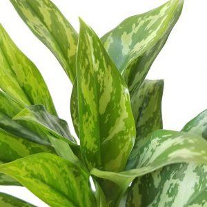 plant gifts air-purifying indoor plants sale Mississauga Toronto Brampton Oakville Etobicoke Burlington GTA Aglaonema Super Maria Chinese Evergreen