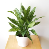 aglaonema super maria indoor plants air-purifying houseplants interiorplants office plants plant sale Etobicoke Toronto Mississauga Brampton Burlington Oakville Hamilton St. Catherine GTA North York