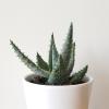 aloe reitzii succulents indoor plants houseplants interiorplants plant sale Mississauga Etobicoke Toronto Brampton Burlington Oakville Hamilton GTA