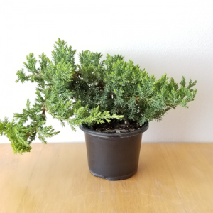 bonsai juniper indoor plants houseplants interiorplants office plants plant sale Toronto Etobicoke Mississauga Brampton Burlington GTA Richmond Hill
