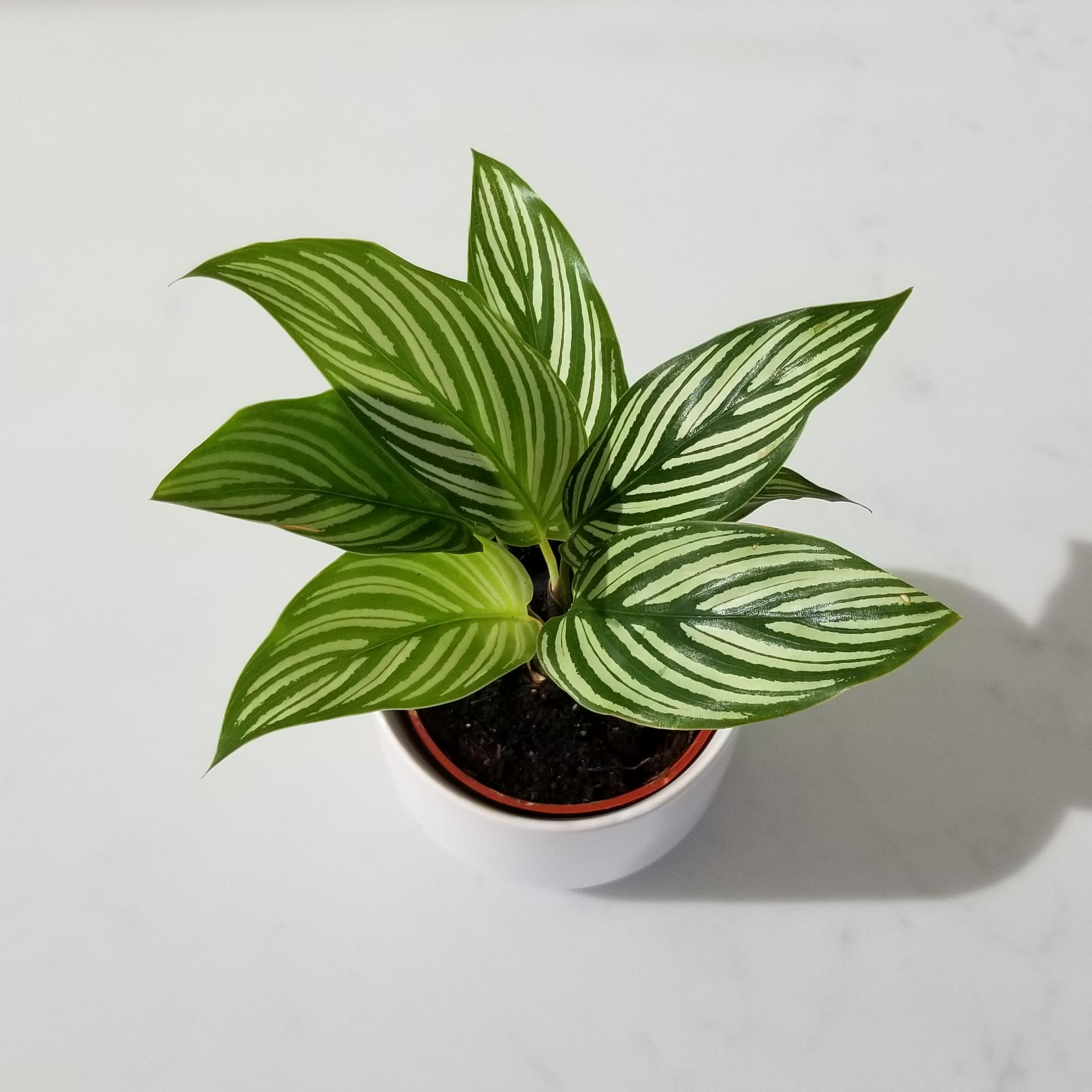 Indoor plants houseplants green plants for indoors interiorplants Plant shop GTA Mississauga Toronto Etobicoke Brampton Grimsby Burlington Oakville Hamilton Calathea vittata