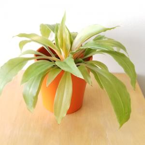 Clorophytum mandarin indoor plants houseplants interiorplants green plants colorful stems plant sale Mississauga Toronto Burlington Oakville Hamilton Etobicoke GTA