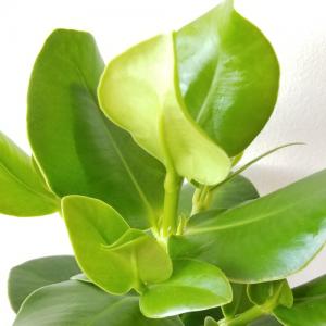 Clusia rosea (Autograph tree) indoor plants easy to grow houseplants office plants interiorplants plant sale Mississauga Toronto Etobicoke Hamilton Oakville Burlington GTA