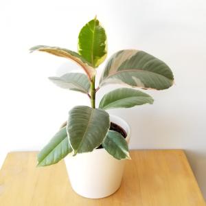 ficus elastica rubber plant Tineke indoor plants houseplants interiorplants plant sale Mississauga Toronto Etobicoke Brampton Oakville Burlington GTA
