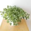 Fittonia (Nerve plant) indoor plants houseplants interiorplants plant sale Toronto Etobicoke Mississauga Brampton Burlington Oakville Hamilton North York GTA