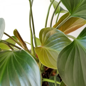 Homalomena Emerald Gem philodendron indoor plants houseplants interiorplants plant sale Toronto Burlington Oakville Mississauga Etobicoke GTA