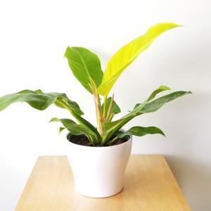 Philodendron Moonlight indoor plants houseplants interiorplants plant sale Mississauga Toronto Etobicoke Oakville Burlington Brampton GTA
