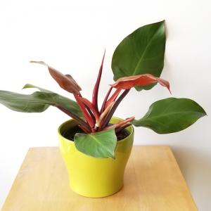 Philodendron prince of orange indoor plants houseplants interiorplants plant sale Mississauga Toronto Etobicoke Oakville Burlington Brampton GTA