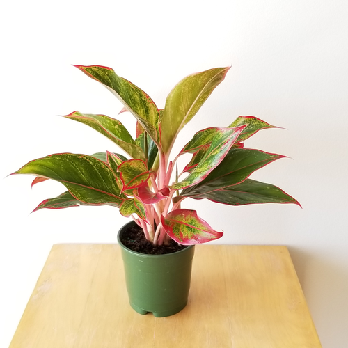 aglaonema red creta indoor plants houseplants plant sale Etobicoke Toronto Mississauga Brampton Oakville Burlington GTA