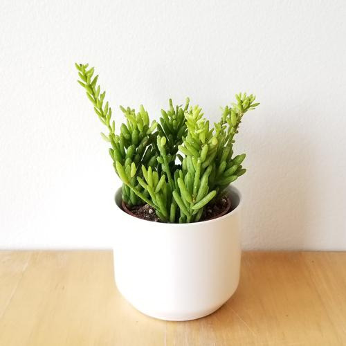 hatiora cacti succulents indoor plants houseplants plant sale Toronto Mississauga Etobicoke Brampton Burlington Oakville GTA