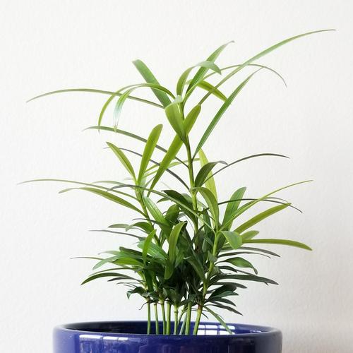 Buddhist Pine Podocarpus macrophyllus green indoor plants houseplants interiorplants plant sale Toronto Etobicoke Mississauga Oakville Brampton Burlington GTA