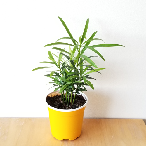 podocarpus buddhist pine indoor plants houseplants interiroplants office plants plant sale Mississauga Toronto Etobicoke Brampton Burlington Oakville GTA