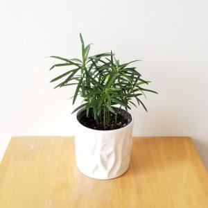 Indoor plants houseplants green plants for indoors interiorplants Plant shop GTA Mississauga Toronto Etobicoke Brampton Burlington Oakville Hamilton Grimsby Podocarpus Buddhist palm