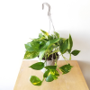 golden pothos money plant vine indoor plants houseplants plant sale Mississauga Toronto Brampton Burlington Oakville Etobicoke GTA