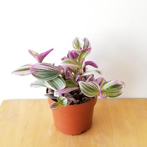 tradescantia wandering jew nanouk indoor plants houseplants plant sale Toronto Mississauga Etobicoke Brampton Burlington Oakville GTA
