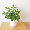 mint spearmint organic herbs healing indoor plants houseplants interior plants plant herb sale Mississauga Toronto Etobicoke Hamilton Oakville Brampton Burlington GTA