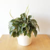 peperomia napoli nights indoor plants houseplants interiorplants plant sale Mississauga Toronto Brampton Etobicoke Oakville Burlington GTA
