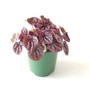 Indoor plants houseplants green plants for indoors interiorplants Plant shop GTA Mississauga Toronto Etobicoke Brampton Grimsby Burlington Oakville Hamilton Peperomia Ripple red