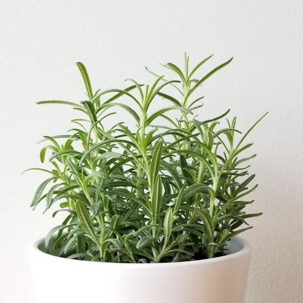 rosemary herbs organic indoor plants houseplants fragrant natural medicine for cooking plant sale Mississauga Toronto Etobicoke Brampton Hamilton Oakville Burlington GTA