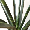sansevieria fernwood indoor plant air-purifying houseplants office plants interior plants plant sale Mississauga Toronto Etobicoke Brampton Burlington Oakville GTA