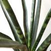sansevieria fernwood indoor plant air-purifying houseplants office plants interior plants plant sale Mississauga Toronto Etobicoke Brampton Burlington Oakville GTA