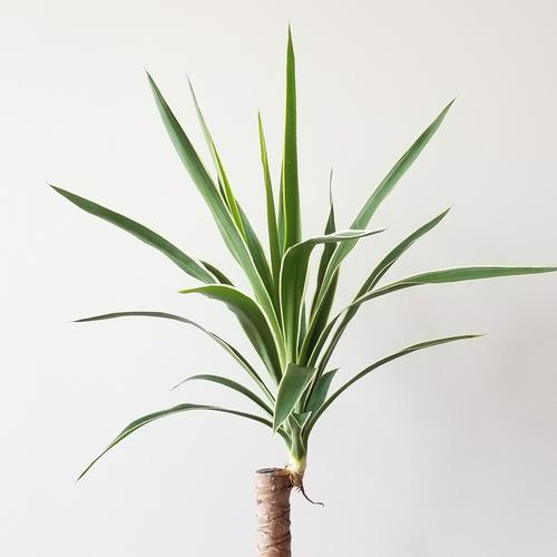 yucca cane variegated indoor plants houseplants plant sale Toronto Mississauga Etobicoke Oakville Brampton Burlington GTA