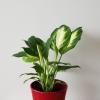 Dieffenbachia Camille indoor plants houseplants interior plants plant sale Mississauga Brampton Burlington Oakville Hamilton Toronto Etobicoke GTA