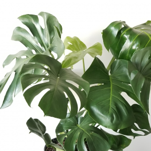 Philodendron Monstera deliciosa indoor plants houseplants office plants interior plants plant sale Mississauga Toronto Etobicoke Brampton Burlington Hamilton GTA green healthy living