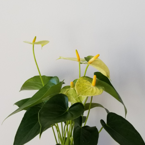 anthurium yellow-green 5in
