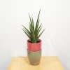 ceramic decorative container 4 inch Bolino assorted colors for indoor plants houseplants interiorplants plant sale Mississauga Toronto Brampton Burlington Oakville Hamilton North York Etobicoke GTA