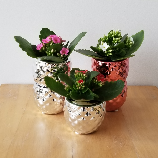 decorative ceramic containers assorted colors for Christmas gifts indoor plants houseplants iteriorplants plant pot sale Mississauga Etobicoke Toronto Brampton Burlington Oakville GTA
