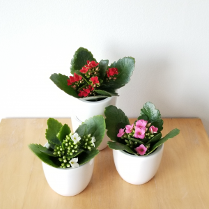 Christmas gifts plant gift for Christmas Kalanchoe red flowers indoor plants houseplants interiorplants office plants plant sale online shopping contactless curbside pickup delivery Mississauga Toronto Etobicoke Brampton Burlington Oakville GTA