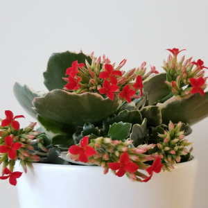 Christmas gifts plant gift forChristmas Kalanchoe red flowers indoor plants houseplants interiorplants office plants plant sale online shopping contactless curbside pickup delivery Mississauga Toronto Etobicoke Brampton Burlington Oakville GTA