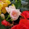 begonia rieger 4.5 inch pot assorted colors beautiful flowering houseplants indoor plants interiorplants plant sale Mississauga Toronto Etobicoke Brampton Burlington Oakville Hamilton North York GTA