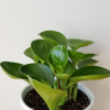 peperomia obtusifolia green large leaves indoorplants houseplants interior plants air-purifying plant sale plantshop Mississauga Toronto Etobicoke Oakville Brampton Burlington GTA delivery onlinesale curbside pickup
