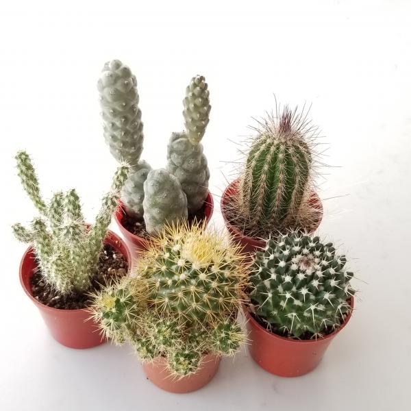 Cactus in variety beautiful easy succulents cacti indoor plants houseplants air-purifying interiorplants plant sale Mississauga Toronto Etobicoke Brampton Burlington Oakville Hamilton North York Richmond Hill GTA