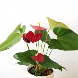 Anthurium flowers Flamingo Flower flowering indoor plants houseplants interior plants plant sale Toronto Etobicoke Mississauga Brampton Burlington Oakville Hamilton North York GTA Happy Valentine's Day Love Holidays Plant Gifts red flowers
